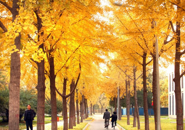 Chinese visit a park full of trees with golden leaves in Beijing November 6, 2010. UPI/Stephen shaver