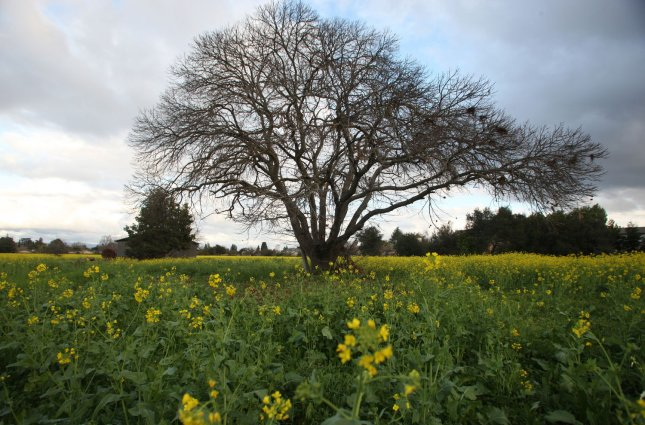 A heritage chestnut tree slated for removal sits in a fallow Silicon Valley farm sold for development in Mountain View, California on February 5, 2009. (UPI Photo/ Terry Schmitt)