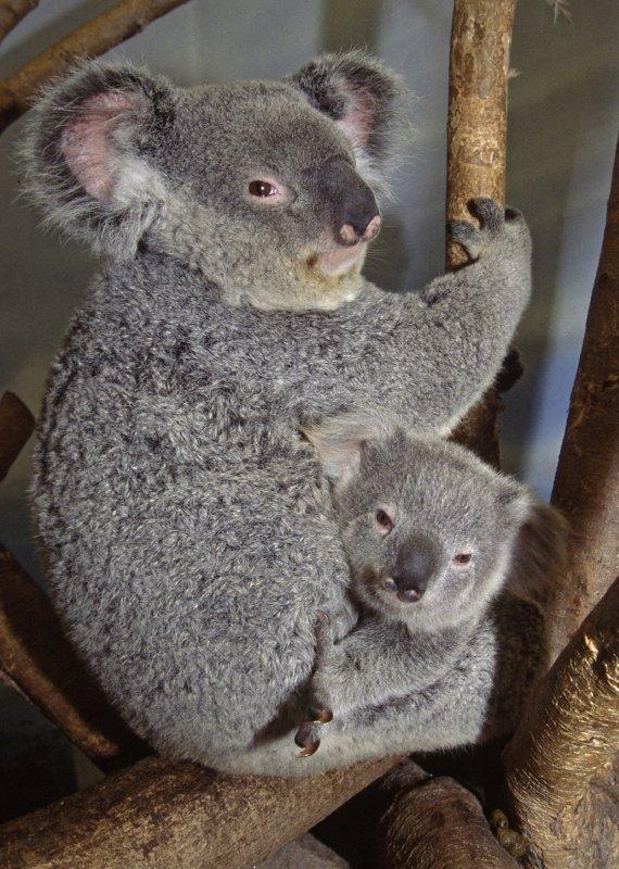Amaroo, a koala, cuddles her son Kaiyu at the San Diego Zoo, April 26, 2004. (UPI Photo/Ken Bohn/ZOOLOGICAL SOCIETY OF SAN DIEGO)..