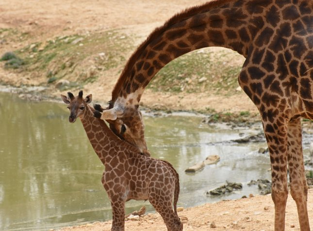 Giraffes are as socially complex as elephants and killer whales, according to a new study. File Photo by Debbie Hill/ UPI