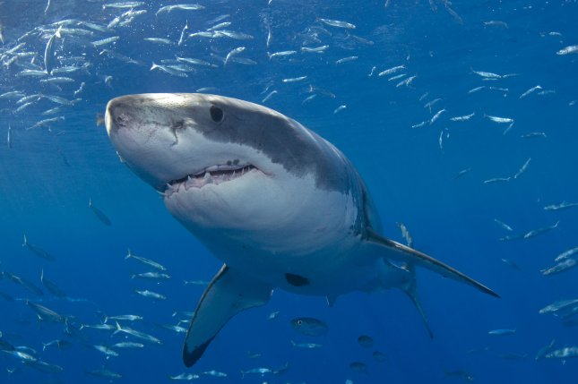 A shark believed to be a white pointer knocked a surfer off of his board in Australia, causing beach advisories. File Photo by Joe Marino/UPI