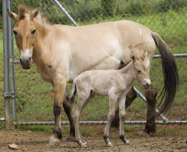 Wild horse Foal, with mother Brandi, are seen on July 10, 2009 at the Smithsonian's National Zoo in Washington. In Kentucky, dozens of horses crashed into fences and stables after being frightened by a fireworks display. File Photo by Mehgan Murphy/National Zoo/UPI