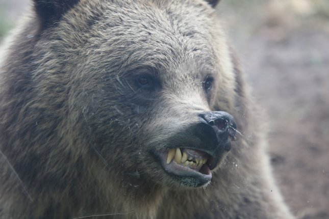 A grizzly bear is seen at the Saint Louis Zoo in St. Louis, Mo. Officials said the deadly attack in Alaska is the first in the Wrangell-St. Elias National Park and Preserve. File Photo by Bill Greenblatt/UPI