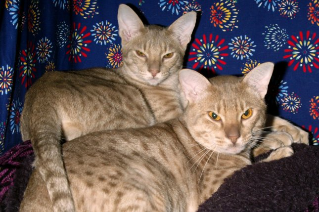 Two cats pose for pictures (File/UPI/Laura Cavanaugh)