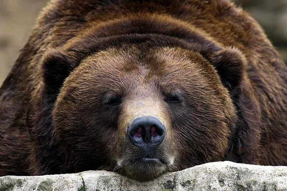 A brown grizzly bear at the St. Louis Zoo (File/Bill Greenblatt/UPI)
