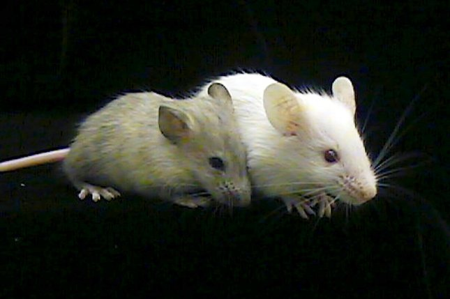Alcohol's effects were mitigated when lab mice and lab rats took oxytocin. File Photo by rw/HO/Carolyn Cronin/UPI.