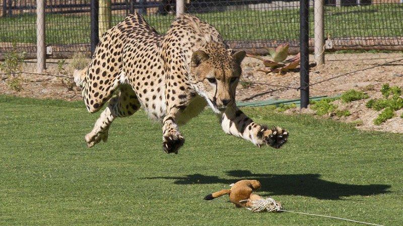 WATCH: Nat Geo captures super hi-def video of cheetah
