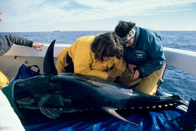 Researchers tag a giant bluefin tuna off the coast of North Carolina. Tuna must pack on nearly 200 pounds of fat for their trip from their feeding grounds in Maine to the Gulf of Mexico, where they mate. File photo by rlw/Stanford University/Monterey Bay Aquarium/UPI.