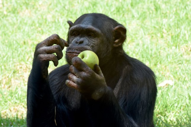 New research suggests that as tasks get more difficult, chimpanzees are more likely to assist and teach each other. File Photo by Debbie Hill/UPI