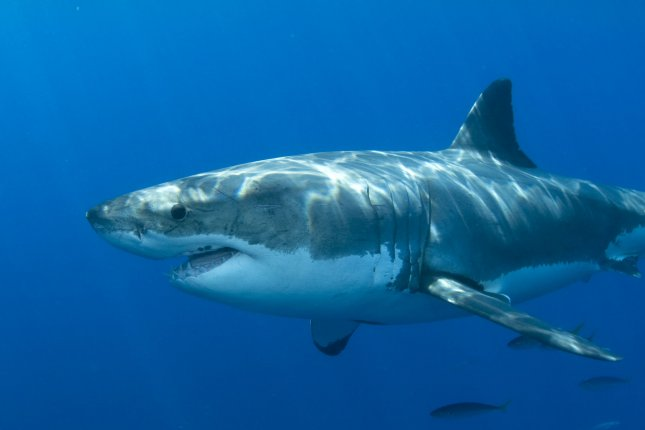 A Great White is observed during behavioral research studies being conducted on Great White Sharks off of Isla Guadalupe, Mexico on September 15, 2008. (UPI Photo/Joe Marino)