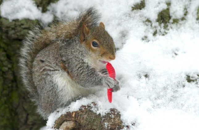 A hungry squirrel nibbles on a Gummy Worm dropped by a tourist near the Korean War Veterans Memorial after a snowfall in Washington, D.C. rlw/Roger L. Wollenberg UPI