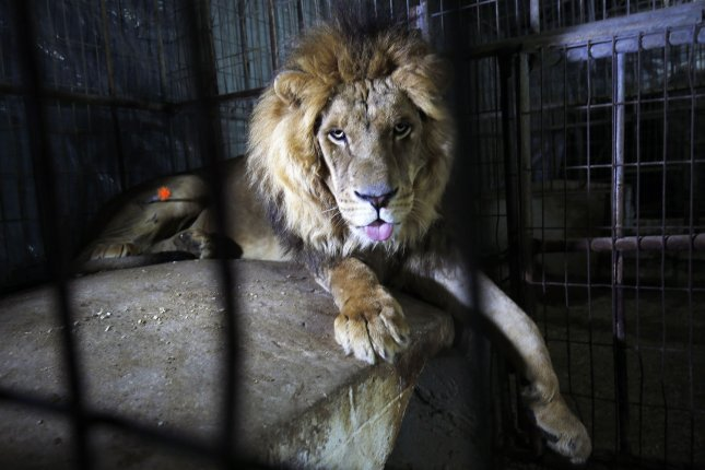 A Missouri zoo said a 911 call reporting a lion on the loose after recent storms in the area damaged structures at the facility was a hoax. File Photo by Ismael Mohamad/ UPI