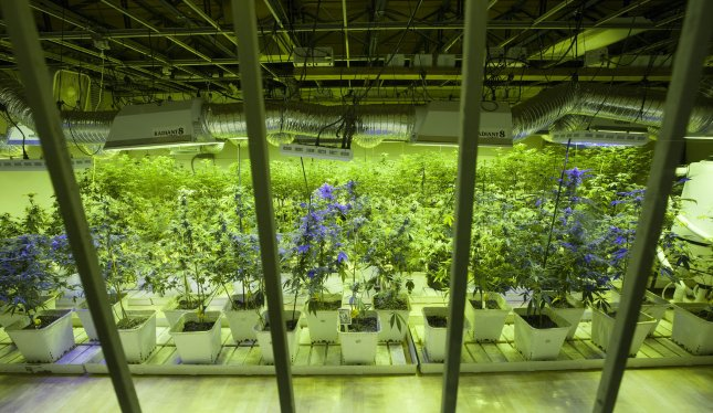 Marijuana plants are seen at the 3D Cannabis Center in Denver on January 1, 2014. File Photo by Gary C. Caskey/UPI