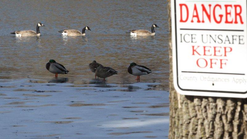 Aggressive ducks attack in Florida