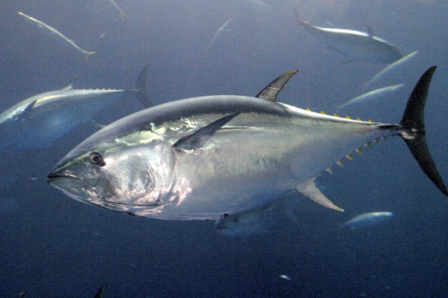 Blue fin tuna are one of several species whose geographic range is declining faster than its population and could make it more susceptible to extinction. Photo by rlw/Monterey Bay Aquarium/Randy Wilder/UPI
