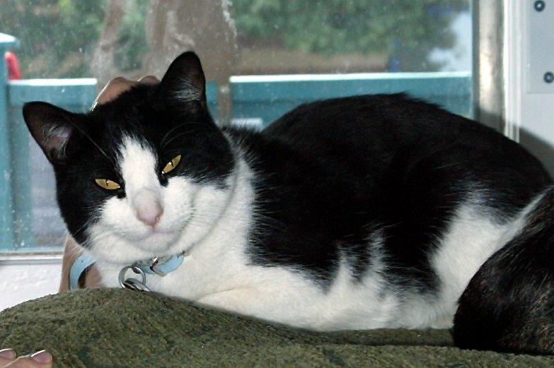 A shelter cat (File/UPI/Laura Cavanaugh)
