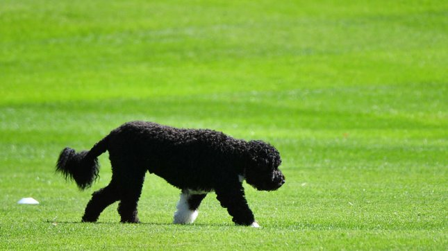 President Obama's dog Bo walks on the South Lawn of the White House. UPI/Kevin Dietsch