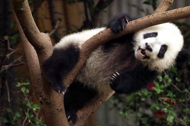 A young giant panda, which are considered an endangered species, climbs on a tree at the Panda Research Base in Chengdu, Sichuan Province, China, on November 20, 2017. File Photo by Stephen Shaver/UPI