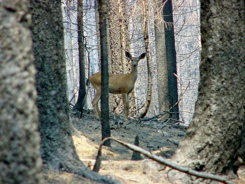 High deer populations good for ecosystem