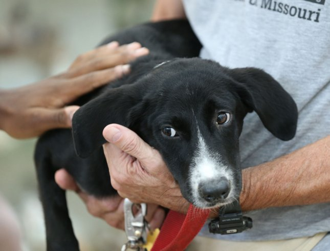 A 5-month-old Border Collie mix is shown to visitors on National Mutt Day in St. Louis on July 31. In neighboring Illinois, a new law will require former couples who can't agree on who should get the pet to prove who's the better owner in court. File Photo by Bill Greenblatt/UPI