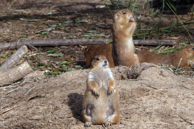 Prairie dog dens in Arizona were found to be infected with the plague. File Photo by UPI/Bill Greenblatt