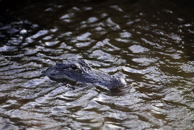 A California sheriff's office confirmed deputies responded to a reported sighting of a 5-foot alligator. File Photo by David Tulis/UPI