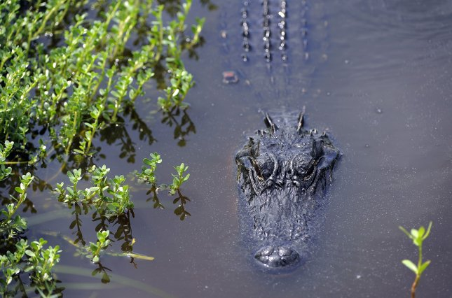 Police discovered an alligator, much like this one shown in its native habitat, that had been living in a Chicago man's basement for 26 years. File Photo by David Tulis/UPI
