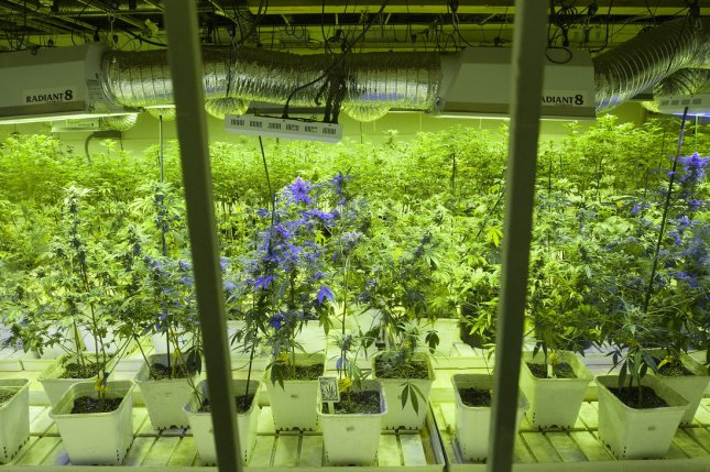 Marijuana plants being cultivated at a grow center in Denver (File/UPI/Gary C. Caskey)