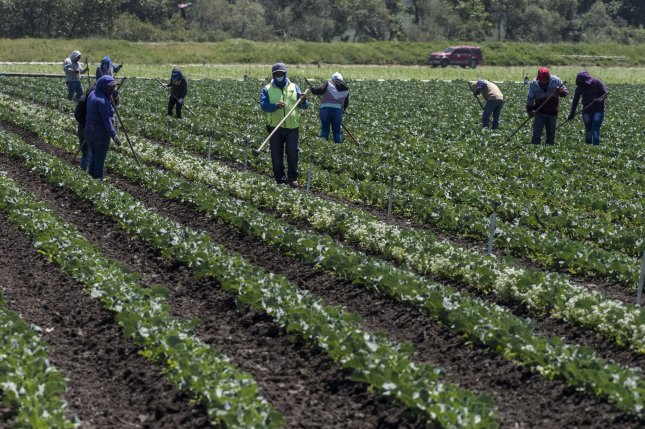 Farm workers hoe the rows in Moss Landing, Calif., on April 28, 2020. A Supreme Court ruling said farm union organizers can't drum up support on private farms without compensating the business. File Photo by Terry Schmitt/UPI