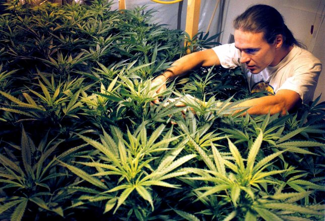 Amsterdam, Netherlands -- In the attic of his house an unidentified Dutch pot smoker grows marijuana plants. Drugs are officially forbidden, but Dutch authorities tolerate small amount of soft drugs for personal use. The liberal approach has led to harsh criticism by the French government. This month a new draft policy document will be debated in parliament. The possession of marijuana will be limited to 5 grams instead of 30 grams. UPI