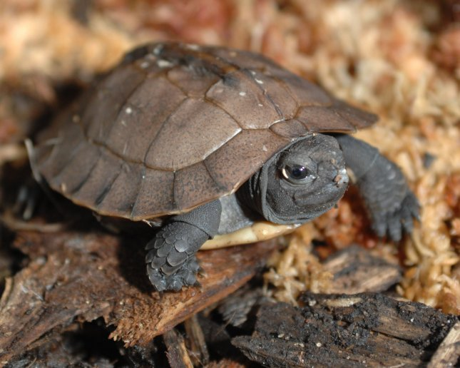 Baby turtles may communicate in the nest to coordinate their hatching to prevent some emerging alone and at the mercy of predators. (UPI Photo/John Dickerson)