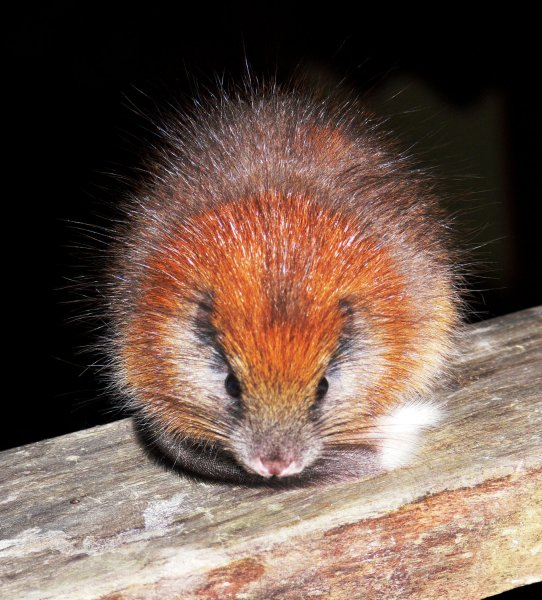 This red-crested tree rat (Santamartamys rufodorsalis), a guinea-pig-sized rodent not seen since 1898 and thought perhaps to be extinct, is seen at the El Dorado Nature Reserve in Colombia, South America on May 4, 2011. UPI/Lizzie Noble/ProAves