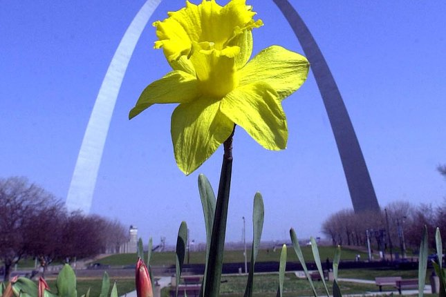 Researchers say the shape of a daffodil stem helps reduce drag and vortex shedding and could inspire the design of more stable skyscrapers. File photo by Bill Greenblatt/UPI