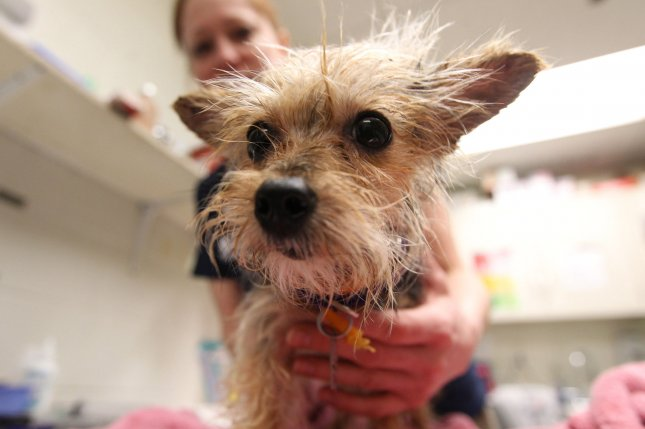 A groomer treats a young Yorkie at a Humane Society facility in St. Louis, Mo. File Photo by Bill Greenblatt/UPI
