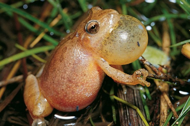 Frogs get stressed by traffic noise, new research showed. Photo by Jim Rathert/Mo Dept. of Conservation/UPI