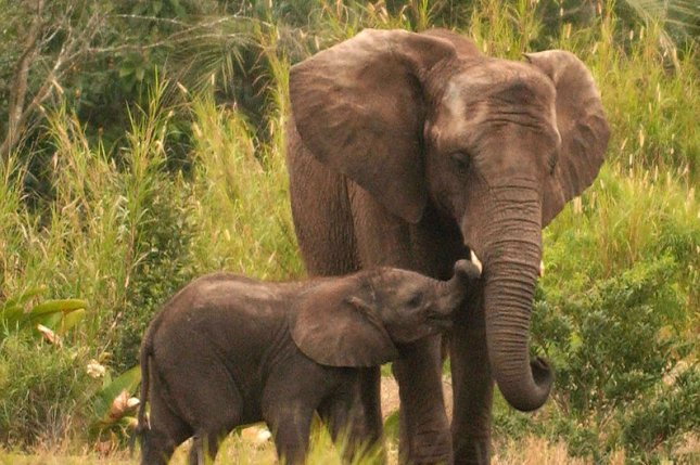 43c58b81e69e Elephant DNA leads scientists to ivory poaching hotspots - UPI.com