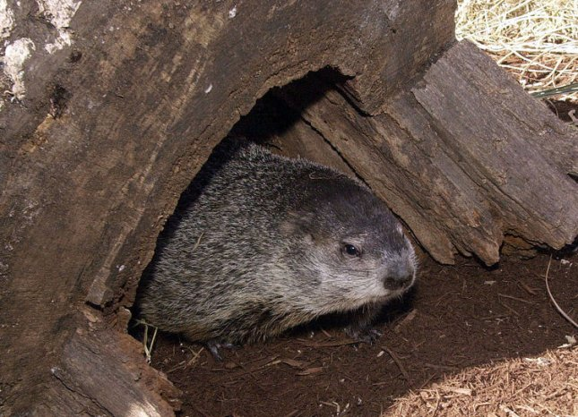 SLP2001020201- 02 FEBRUARY 2001- ST. LOUIS, MISSOURI, USA: The St. Louis Zoo's groundhog, Chester peeks ouy from his burrow to make his annual weather prediction, in front of the Children's Zoo, in St. Louis ,Misouri, February 2. Chester walked around for a small time in the sunshine, looking at the children and their parents that had gathered to see him. rw/bg/Bill Greenblatt UPI