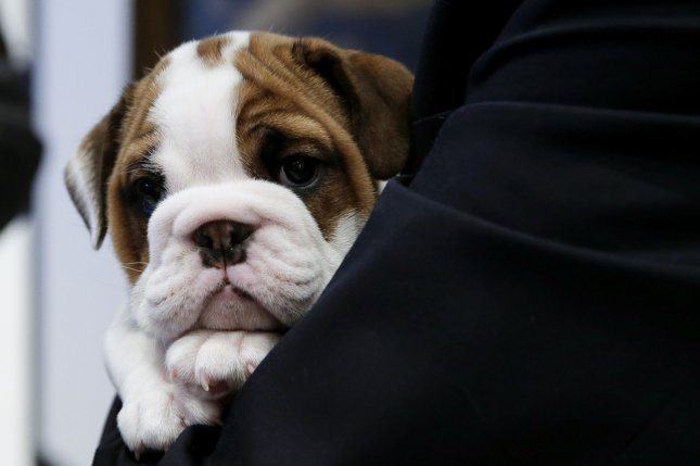 A Bulldog puppy is seen at the Museum of the Dog in New York City on March 20. File Photo by John Angelillo/UPI