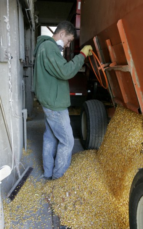 Joe Courville unloads corn at the grain elevator in Manteno, Illinois on October 20, 2008. (UPI Photo/Brian Kersey)
