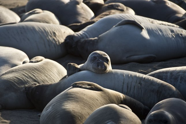 Researchers suggest elephant seal molting is leading spikes in coastal mercury levels. Photo by Terry Schmitt/UPI