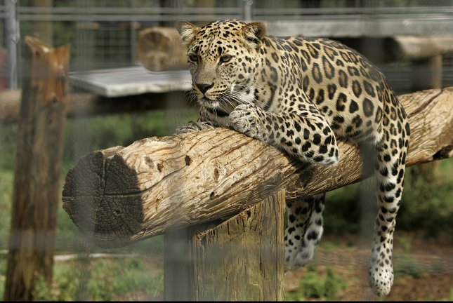 Leopard injures model during photo shoot in Germany
