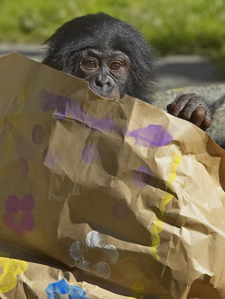 Makasi, a two-year-old bonobo, in his habitat at the San Diego Zoo on March 22, 2006. (UPI Phpoto/Ken Bohn, Zoological Society of San Diego)
