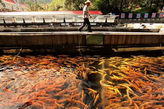 Asia is expected to supply a growing percentage of the world's farmed fish in the coming decades. Pictured, A Chinese worker tends to farm-raised trout at a fish farm in Beijing September 20, 2010. File photo by UPI/Stephen Shaver