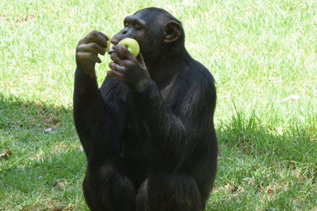 Chimpanzees in Uganda who died in 2013 of a mysterious disease were stricken with a common human virus, researchers now say, adding that chimpanzees may have a species-wide susceptibility to it. File photo by Debbie Hill/UPI