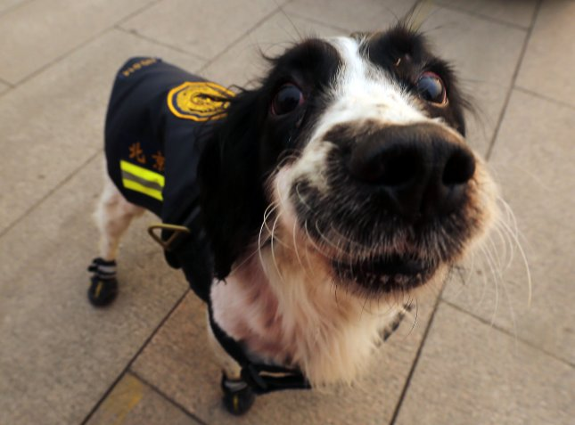 The Criminal Investigation Police University of China announced it is auctioning off 54 dogs that flunked out of its police dog training program for not being aggressive or obedient enough for law enforcement. File Photo by Stephen Shaver/UPI