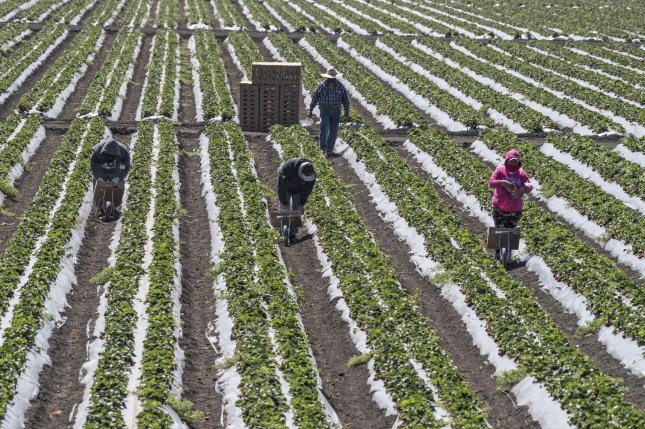 Workers are seen picking strawberries at a farm in Marina, Calif., on April 28, 2020. File Photo by Terry Schmitt/UPI