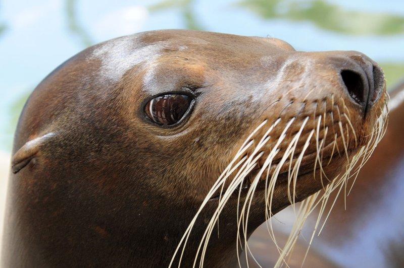 A female sea lion (File/UPI/Joe Marino-Bill Cantrell)