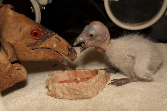 The San Diego Zoo's Wild Animal Park celebrates the hatching of the first California condor of the season. The chick, which hatched Sunday, April 3, will be puppet-reared to eliminate any association between people and food. Keepers will feed and monitor the chick daily at the Wild Animal Park's condor breeding facility. At four months old the Park's animal care staff is expected to introduce the chick and future hatchlings into a new classroom facility where two mentor birds will teach the chicks how to act like condors. There are more than 100 condors living in the wild in California, Arizona and Baja, Mexico since the California Condor Recovery Program began to release condors back into the wild in 1992. A second chick hatched Wednesday at the Park. (UPI Photo/Ken Bohn..