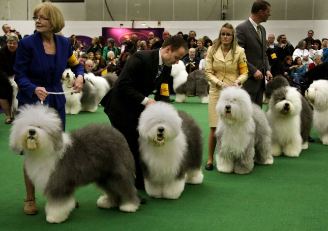 More companies offering pet insurance plans as an employee benefit. Old English Sheepdogs are judged during the 137th annual Westminster Kennel Club dog show held at Piers 92/94 on February 11, 2013 in New York City. UPI /Monika Graff