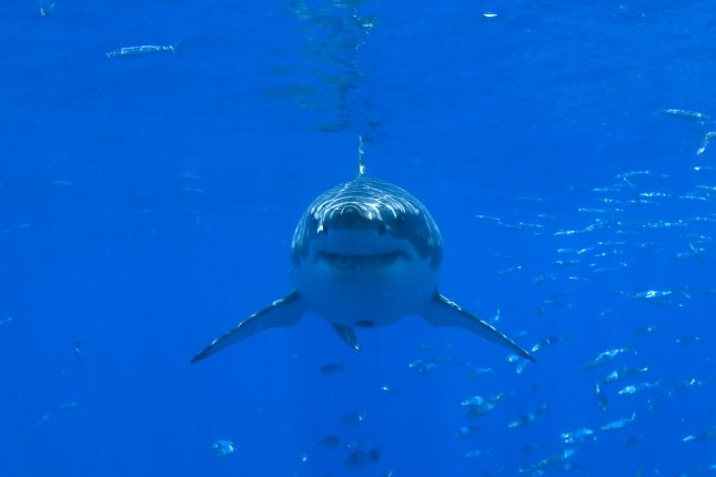 White shark populations in the Atlantic and Pacific are growing. Photo by UPI/Joe Marino